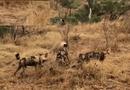 Tin thế giới - Video: Đàn chó hoang và linh cẩu hỗn chiến quyết liệt tranh mồi