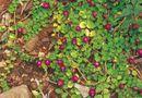 Tin tức - Lạ: 5 loại rau dại tại các nước lại trở thành đặc sản được săn lùng ở Việt Nam