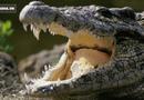 Tin tức - Video: Cá sấu mẹ hung hãn tấn công nhau vì hiểu lầm