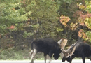 Tin tức - Video: 2 nai sừng tấm hỗn chiến khốc liệt giữa đường