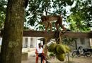 Tin tức - Hi hữu: Đang ngồi trước cửa nhà, cụ bà 72 tuổi tử vong vì bị khỉ ném dừa vào đầu