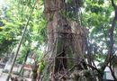 Tin tức - Vụ cây sưa trăm tỷ ở Hà Nội: Một nhánh cây được bán đấu giá 31 tỷ đồng