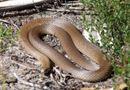 Tin tức - Người đàn ông hoảng hồn vì bắt gặp rắn độc nhất nhì thế giới ngay trong nhà