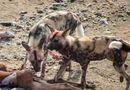 Tin tức - Video: Bầy chó hoang bất lực nhìn linh cẩu và cá sấu xé xác con