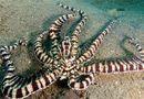 """Tin tức - Video: Bạch tuộc """"phù thủy"""" biến hình thành rắn biển trong chớp mắt bằng kỹ năng """"thượng thừa"""""""