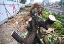 Tin tức - 3,6 tỷ đồng để chặt hạ, di chuyển 476 cây xanh ở Hà Nội chi ra sao?