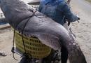 """Tin tức - Ngư dân Quảng Trị bắt được cá mú """"khủng"""" nặng 82 kg ngày giáp Tết"""