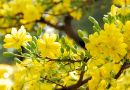 Tin tức - Video: Choáng ngợp trước cây mai có tán phủ hơn 50 m2 nở hoa vàng rực