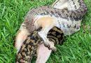 Tin tức - Cuộc chiến sinh tồn: Trăn khổng lồ nuốt chửng chuột túi trong cơn đói sau lũ lụt