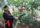 """Y tế - """"Thần y"""" phát huy công dụng loài cây cỏ trên rừng sâu chữa bệnh yếu sinh lý"""