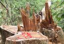 Tin trong nước - Rừng gỗ quý ở Quảng Bình bị lâm tặc triệt hạ do buông lỏng quản lý