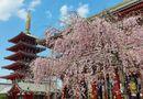 Tin thế giới - Những bức ảnh tuyệt đẹp về mùa hoa anh đào Nhật Bản 2019