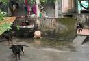 Tin trong nước - Vụ cháu bé 7 tuổi bị đàn chó cắn tử vong: Chủ vật nuôi có thể bị truy cứu trách nhiệm hình sự