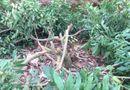 Tin trong nước - Xót xa gần trăm cây nhãn đang ra hoa bị kẻ gian chặt phá tan nát