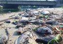 Tin trong nước - Đang xác định nguyên nhân cá chết hàng loạt dọc bờ biển Đà Nẵng