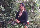 Y tế - Hà Nội: Nổi tiếng bài thuốc chấm dứt bệnh đau xương khớp của người Dao quần chẹt núi tổ Ba Vì