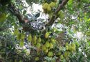 Kinh doanh - Cận cảnh cây mít Tố Tây ra quả từ gốc tới ngọn, một chùm gần 30 quả