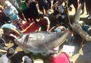 """Đời sống - Cận cảnh cá ngừ """"siêu khủng"""" nặng gần 400kg mà ngư dân Khánh Hòa vừa câu được"""