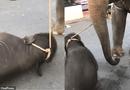 Cộng đồng mạng - Phẫn nộ cảnh voi con kiệt sức ngã quỵ vì bị trói vào voi mẹ đi chở khách