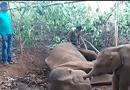 Gia đình - Tình yêu - Video: Xúc động cảnh voi con tuyệt vọng quanh quẩn bên xác mẹ