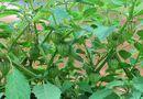 Sức khoẻ - Làm đẹp - 5 loại rau dại bình thường ở Việt Nam nhưng là thần dược được săn đón ở nước ngoài