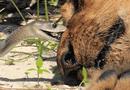 Video-Hot - Video: Sư tử đực chết thảm vì trúng nọc độc của rắn mamba đen