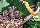 Video-Hot - Video: Nhân lúc chim mẹ đi vắng, rắn độc tấn công bầy con non