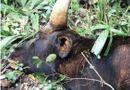 Tin trong nước - Bò tót gần 800 kg chết trong khu bảo tồn là do tuổi già, có dấu hiệu mắc bệnh phổi