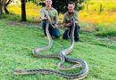 Đời sống - Mải giao phối, cặp trăn hơn 40kg làm sập trần nhà dân