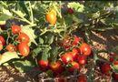 Đời sống - Kỳ tích của Trung Quốc khi biến cát sa mạc thành đất trồng cà chua, dưa hấu