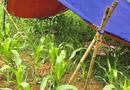 Tin trong nước - Hòa Bình: Phát hiện thi thể người phụ nữ tử vong bất thường tại ruộng ngô
