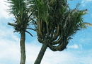 Đời sống - Kỳ lạ cây dừa 14 ngọn ở Đất Mũi được trả giá 300 triệu đồng