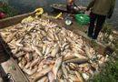 Tin tức - Hải Dương: Điều tra vụ hơn 3 tấn cá chết bất thường, nghi bị đầu độc