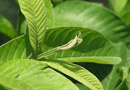 Sức khoẻ - Làm đẹp - Cách chữa bệnh trĩ bằng lá ổi