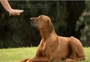 Xã hội - Bệnh viện thú y quốc tế bày cách huấn luyện chó con nghe lời