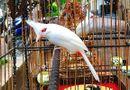 Xã hội - Hà Nội: Dàn chim đột biến trị giá hơn 10 tỉ của doanh nhân Chương Taylor sẽ xuất hiện tại Phố đi bộ Trịnh Công Sơn