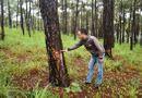 Pháp luật - Tạm giữ nhóm đối tượng dùng thuốc diệt cỏ hủy hoại hơn 1.000 cây thông