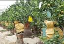 Kinh doanh - Độc đáo chuột vàng cõng quất bonsai giá bạc triệu chơi tết