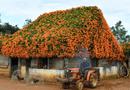 """Đời sống - Ngôi nhà phủ hoa chùm ớt ở Lâm Đồng """"biến mất"""", bao người ngẩn ngơ tiếc nuối"""