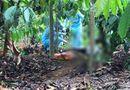 Tin trong nước - Vụ cô gái tử vong bất thường, mất bàn tay phải trong rẫy cà phê: Đã bắt được nghi phạm