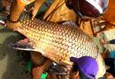 Tin trong nước - Cận cảnh con cá hô nặng 111kg được bày bán tại An Giang