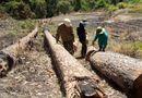 Tin trong nước - Bắt quả tang nhóm đối tượng phá rừng nội ô Đà Lạt