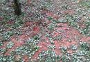 Tin trong nước - Mưa đá trắng đường ở Sơn La, mận rụng tơi tả khắp vườn