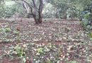 Gia đình - Tình yêu - Nhà vườn Sơn La khóc ròng vì xoài mận rụng trắng vườn