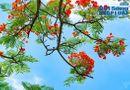 Đời sống - Ngắm hoa phượng đẹp đến nao lòng, đỏ rực khắp đường phố Hà Nội