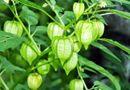 """Sức khoẻ - Làm đẹp - Trong vườn trồng cây này chứng tỏ nhà có """"thảo dược quý"""", công dụng chữa bách bệnh"""