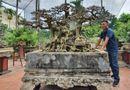 """Kinh doanh - Siêu cây """"Ngai vàng đất Việt"""" hàng chục tỷ đồng khiến giới chơi cây """"sửng sốt"""""""