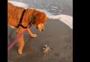 """Video-Hot - Video: Chó và cua đại chiến """"không hồi kết"""" trên bờ biển"""