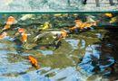 Kinh doanh - Chiêm ngưỡng đàn cá koi hàng chục tỷ đồng của đại gia Hà thành: Toàn cực phẩm hiếm có khó tìm, có con tới 120 triệu đồng