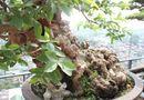 Kinh doanh - Chiêm ngưỡng cây ổi bonsai tiền tỷ thế độc lạ khiến nhiều người mê mẩn của vị đại gia ngành nhựa